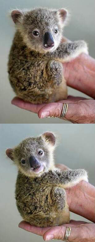 Funny Picture - Baby Koala