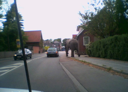 Funny Picture - Elephant On The Loose