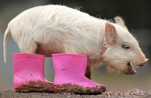 Funny Picture - Pig In Boots