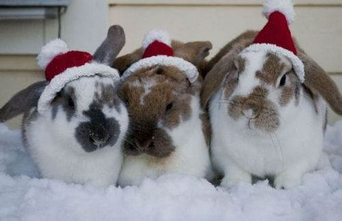 Funny Picture - Snow Bunnies